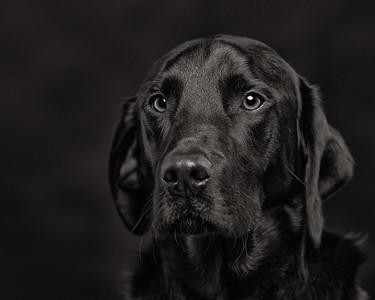 Tye - studio portrait of a black labrador on black.