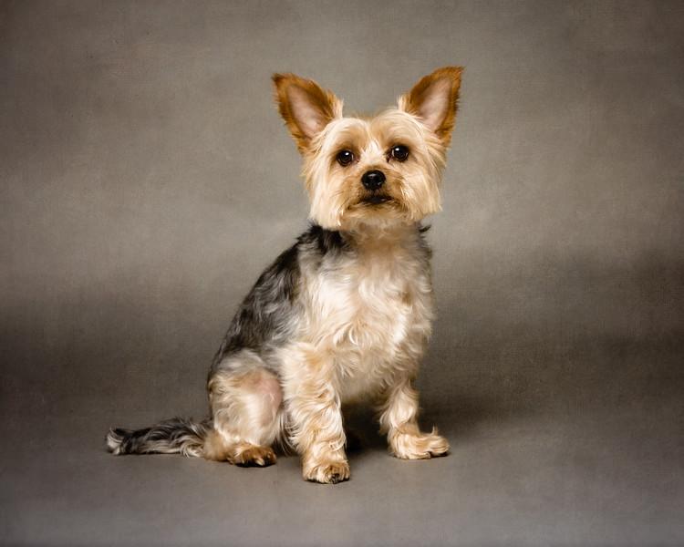 Miilo (Yorkshire Terrier)
