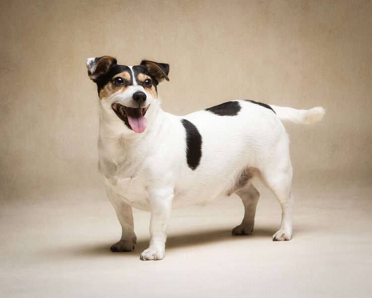 Smudge (Jack Russell)