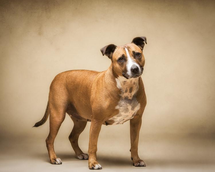 Kara (Staffordshire Bull Terrier)