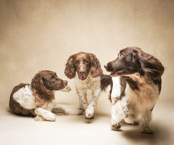 Expecting dogs to cooperate is a strange delusion that we still suffer - Ziggy, Ty & Brogan