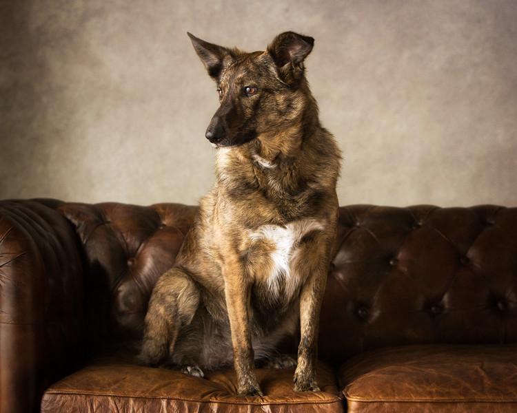 Sandie (German Shepherd cross Border Collie)