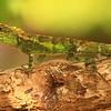 Model Lizard, Okinawa, Japan