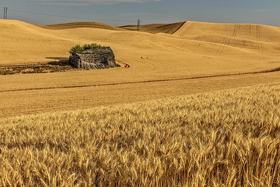Washington, USA.  Abandoned barn, mature and harvested wheat fields in the Palouse region