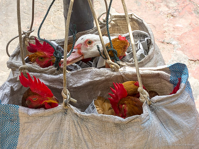 ayam (chicken) travelling