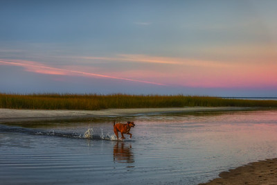 Brewster, MA.  A dog runs through the water at low tide at Paines Creek at sunset.