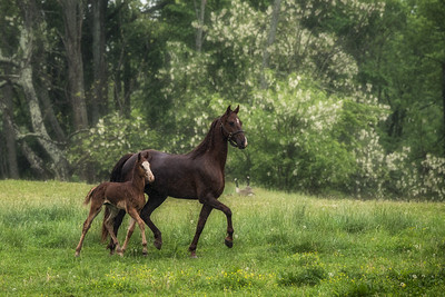 USA, KY. Newborn  American Saddlebred foal running with  mare.