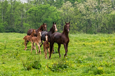 USA, KY. Newborn  American Saddlebred foals running with their mares.