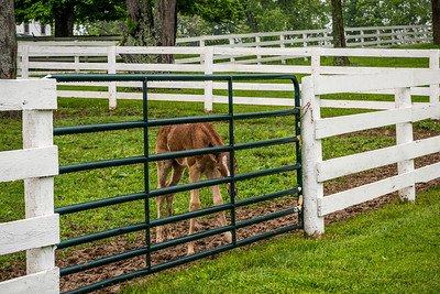 USA, Louisville, KY. Newborn  foal at the fence.