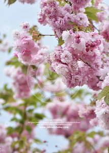 2019_Blossom_May19_12