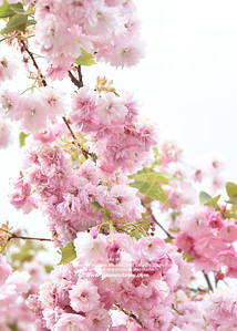 2019_Blossom_May19_03
