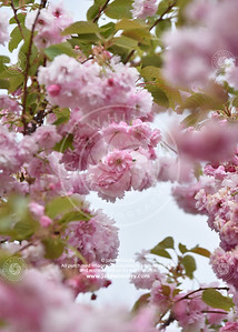 2019_Blossom_May19_04