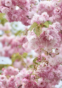 2019_Blossom_May19_11
