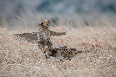North America, USA, Nebraska, Greater prairie chicken (Tympanuchus cupido)