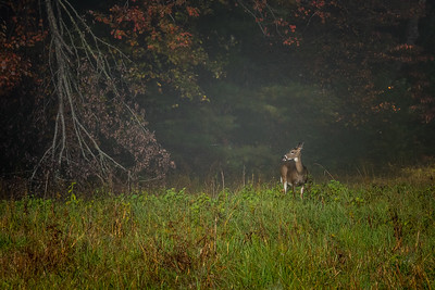 USA, Tennessee., Cades Cove, Scenic autumn landscape of colorful trees and deer on a foggy morning ,  Great Smoky Mountains National Park.
