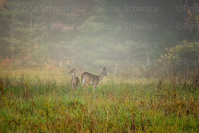 USA, Tennessee., Cades Cove, Scenic autumn landscape of colorful trees and two deer back-to-back on a foggy morning ,  Great Smoky Mountains National Park.