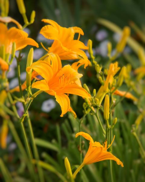 """Orange Lilies"""