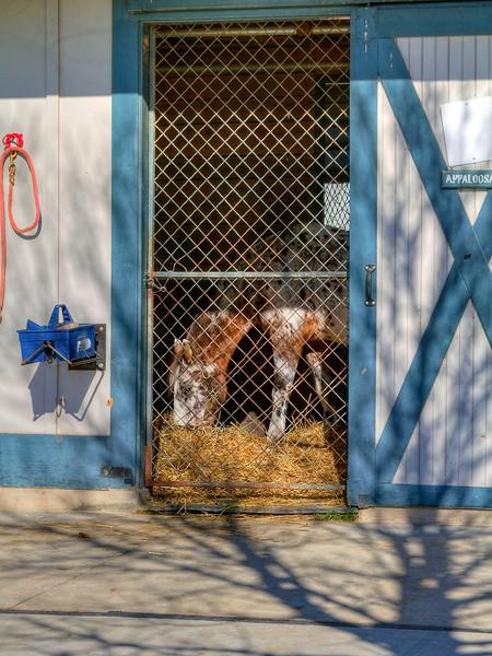 Apaloosa<br /> Kentucky Horse Park