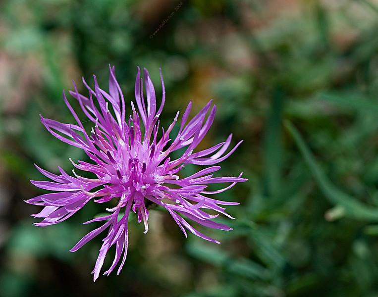 Purple Popper