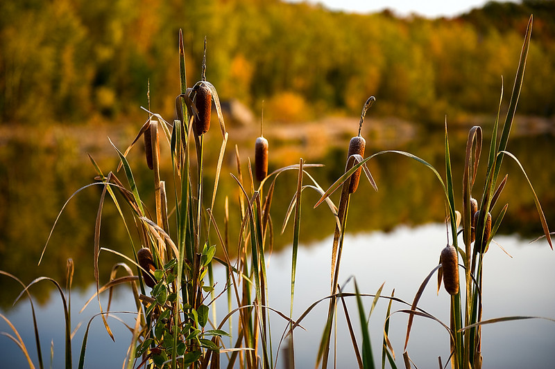 Cattails at the Minnesota Mine