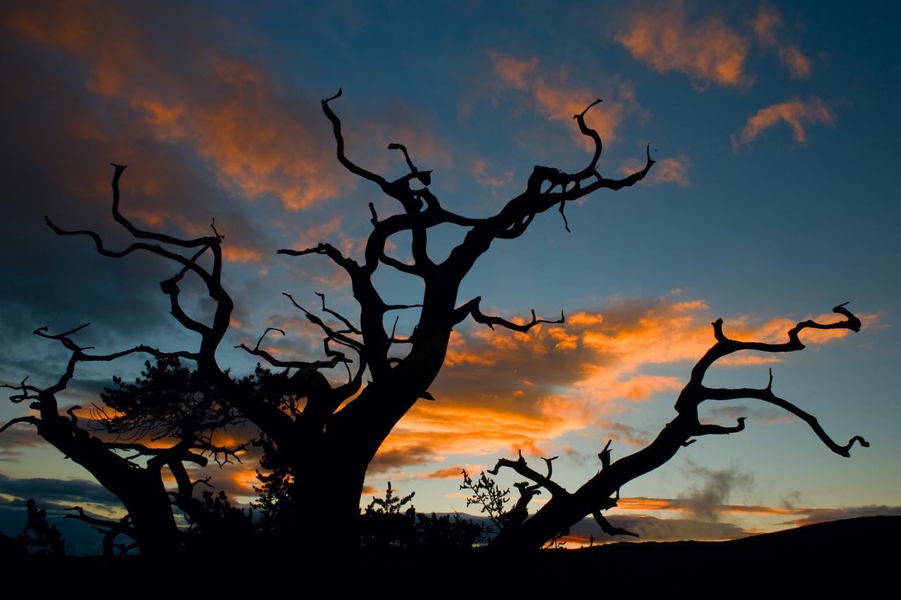Bristlecone silhouette
