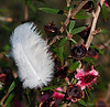 Feather bush