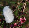 Feather bush