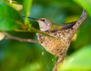 Momma hummer sitting on the eggs in the nest