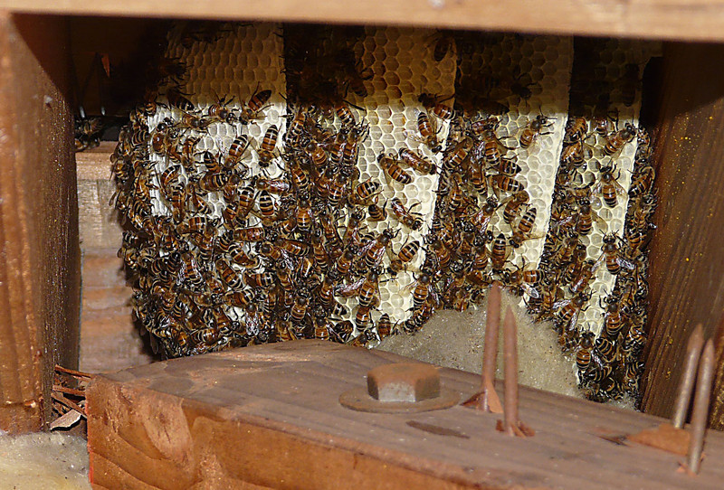 Bees in the attic 2