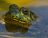 Frog eyes crop