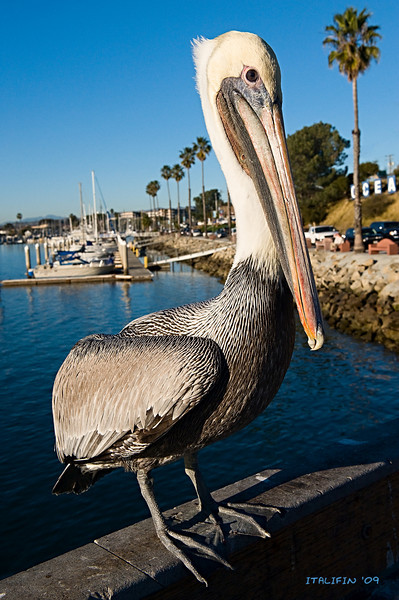 The pelicans were very tame, you could get really close.