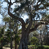 Live Oak at Kingsley Plantation