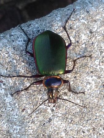 Rest Area entomology: Fiery Searcher. VA