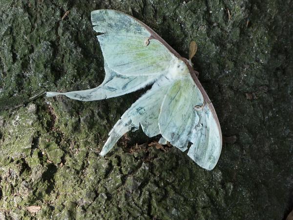 Luna moth, past its brief life. NC/VA line.