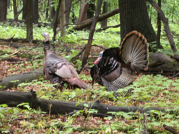 Wild turkey, University of Wisconsin Arboretum