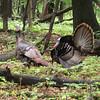 Wild turkey, University of Wisconsin Arboretum