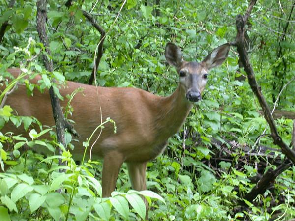 Deer, University of Wisconsin Arboretum
