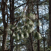 Longleaf pine (endangered). Moore's Creek National Battlefield, NC.