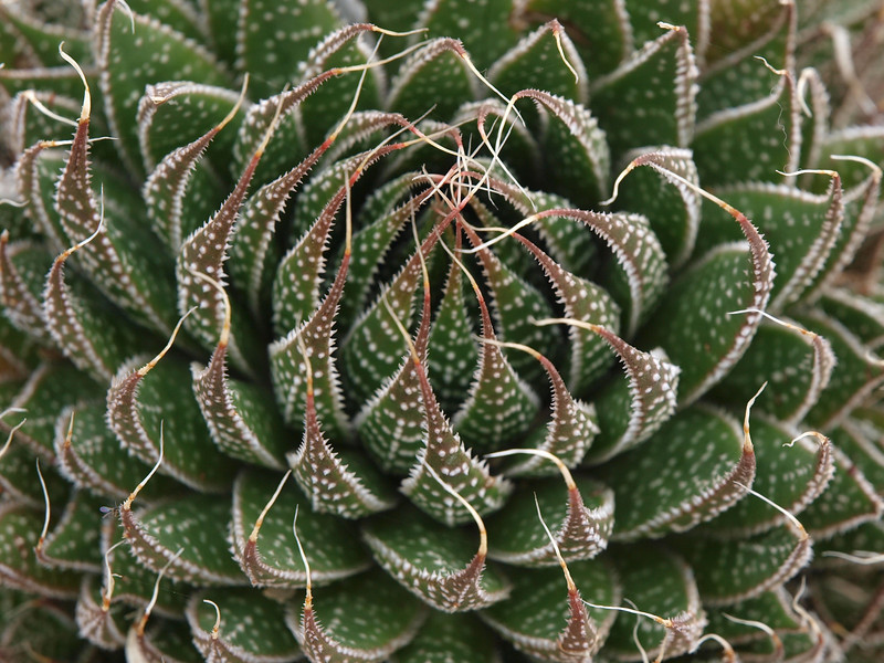 Gardent succulent, La Jolla, CA, March 2009