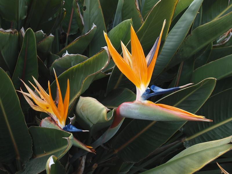 Bird of Paradise, Mission San Juan Capistrano, CA, March 2009
