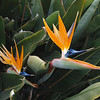 Bird of Paradise, Mission San Juan Capistrano, CA, March 2009
