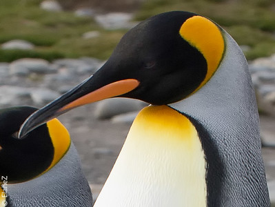 King penguin plumage