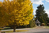 Deciduous Asian 01 04 - Ginkgo or Maidenhair Tree<br /> Ginkgo biloba<br /> Family:  Ginkgoaceae (the only species of the genus, with no known living relatives)<br /> <br /> Beyond the ginkgo you can see, in order as you get farther away and more to the right, a large weeping or pendulous beech, the gazebo of the Demonstration Gardens area, ornamental grass and conifers, which are permanent fixtures of the Demonstration Gardens.  All of the beds that had been so luxuriantly planted with annuals a few weeks earlier had, by this date, been completely cleared.<br /> <br /> This individual is planted at the south end of the main parking area.<br /> Hidden Lake Gardens, Lenawee County, Michigan<br /> October 28, 2011