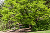 D137-2013  Yellowwood tree with blooms just forming.<br /> .<br /> Nichols Arboretum, Ann Arbor, Michigan<br /> May 17, 2013