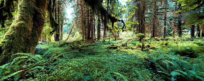 Olympic National Quinault Rain Forest
