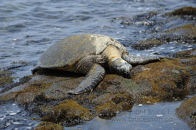 Green sea turtle resting on the rocky shore near Kona, Hawaii.