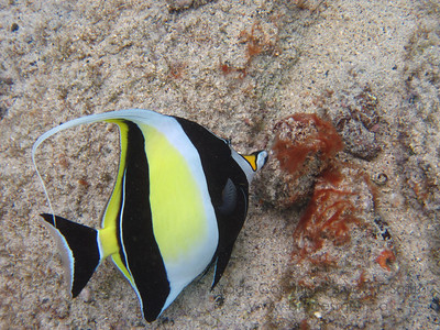 Moorish Idol in Hawaii
