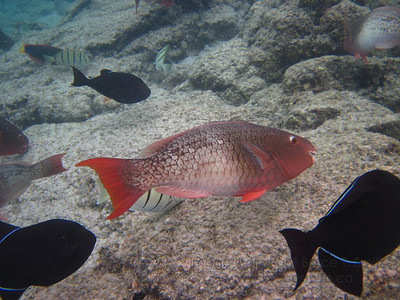 Parrotfish in Hawaii.
