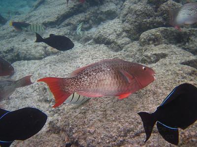 Parrotfish in Hawaii.
