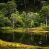 36 Scotch Pine Reflections